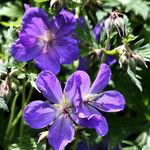 Cranesbill - True Geranium