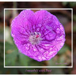 Cranesbill with Dew