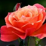~Rose~~