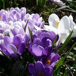 Crocus 1