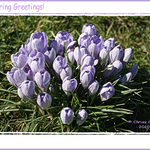 Crocuses Spring Greetings