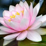 cropped waterlily