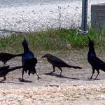 Meeting of the Highway Crow Society