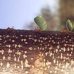 Cut Ants