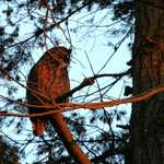 Father Owl at sundown(great horned)