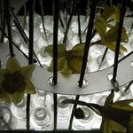 Daffodils on Display