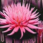 Dahlia Pink - Park Princess , background added