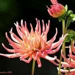 Cactus Dahlias in our Garden