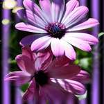 African Daisies & Purple Blinds