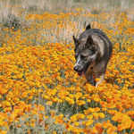 Daisy In A Field Of Poppies