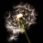 Dandelion Close-Up 1