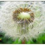 dandelion fluff seed-head