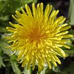 Dandy Flower ..