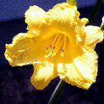 Yellow Daylilly