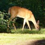 Whitetail Doe_1