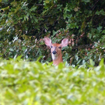 Whitetail Deer -  Odocoileus virginianus