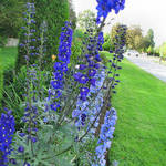Delphiniums on a Vancouver street