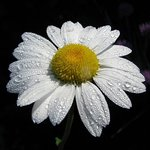 Dewdrops and Daisies