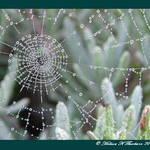Dewy Lavender Web
