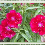 Dianthus