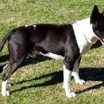 Black & White Dog