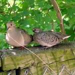 Mean Parent and Sibling of Injured Dove