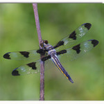 12-spotted Skimmer