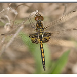 Faded Pennant male