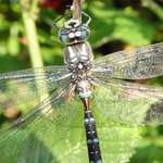 dragonfly jewel