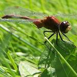 dragonfly macro2