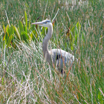 Heron Hunting For Food