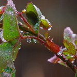 Spring showers on Rose Leaves