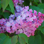 Lilacs are in Bloom