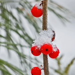 Chilled WinterBerries