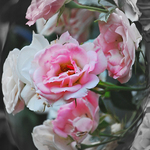 Pink Mini Roses in my 2012 Garden