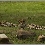 Dubbo Leopards