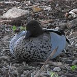 Australian Wood Duck at Morrisett
