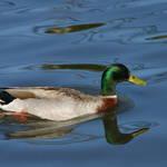 Reflecting duck