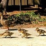 Quack Parade