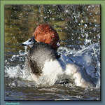 Pochard