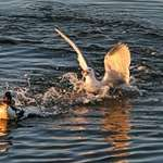 Duck with Fish, Gull in Pursuit