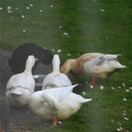 Ducks #2