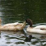 Ducks Pairing