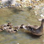 Mother & Baby Ducks