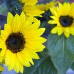 Dwarf Sunflowers