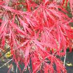 Our dwarf Maple tree (Japanese cutleaf maple)