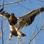 eagle series 1