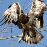 eagle series 5
