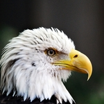 eagle2
