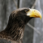 Sea Eagle